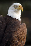Proud. Closeup of a Bald Eagle against a blurred background Stock Image