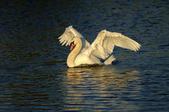 Proud. A swan with wings extended after landing in the water stock images