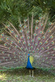 Proud. Male Indian peacock with tail in full spread stock photography