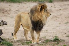 Proud Adult Male Lion - Denver Zoo Animal. Denver Zoo Animal - Healthy Male Lion stock image