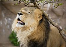 Proud Adult Male Lion - Denver Zoo Animal. Denver Zoo Animal - Healthy Male Lion royalty free stock images