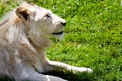 Proud Albino Lion Stock Photo