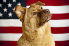 Proud American dog Stock Images
