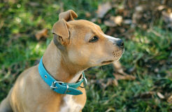 Proud Amstaff puppy Stock Images