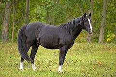Proud Arabian Stallion at summer pasture. Black Arabian Stallion standing in meadow by trees, watching alert Stock Image