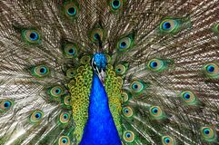 Proud as a Peacock. Stock Photos