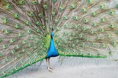 Proud as a peacock Stock Photo