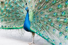 Proud as a peacock Royalty Free Stock Image