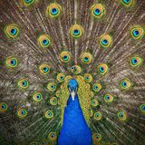 Proud As A Peacock royalty free stock photography