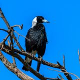 Proud Australian Magpie bird in the tree in front of clear blue sky