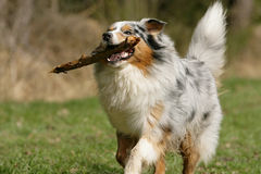 Proud Australian shepherd dog Stock Photography