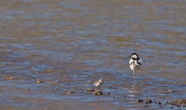 A proud Avocet and a busy Dunlin Royalty Free Stock Photos