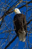 Proud Bald Eagle perched in trees Royalty Free Stock Image