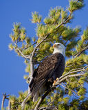 Proud bald eagle scans the sky. Bald eagle scans its territory while perched in a pine tree; blue sky background stock photography