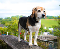Proud beagle. Photo of beagle stood on wall with landscape background Royalty Free Stock Image