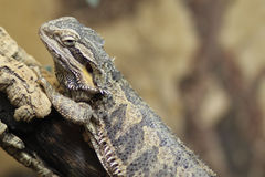 Proud Bearded Dragon Royalty Free Stock Photos