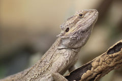Proud Bearded Dragon Royalty Free Stock Photo