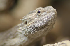 Proud Bearded Dragon Stock Photography