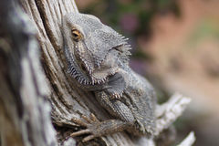Proud Bearded Dragon Stock Photos