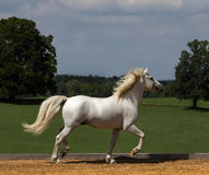 Proud. A beautiful proud camargue horse at trot Royalty Free Stock Photo