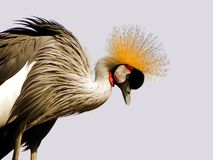 A proud bird. Grey crowned crane Stock Photography