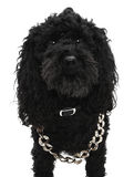 Black poodle dog Royalty Free Stock Photo