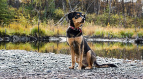 Proud Black and Tan Dog Stock Photo
