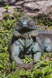 Proud Blue Iguana Stock Photos