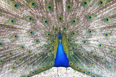 Proud blue peacock showing beautiful feathers / peacock spreading its tail Royalty Free Stock Photo