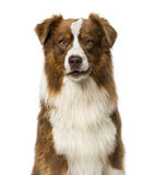 Proud border collie Royalty Free Stock Photography