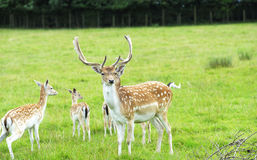 Proud Buck Fallow Deer Royalty Free Stock Images