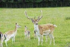 Proud Buck Fallow Deer Stock Image