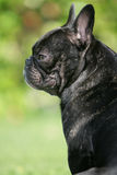 Proud bulldog. Portrait of a young brown French bulldog sitting and looking backwards Royalty Free Stock Photos