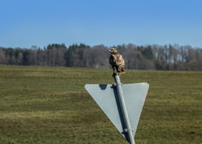 Proud buzzard. A proud buzzard occupied a road sign Royalty Free Stock Photos