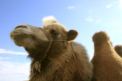 Proud camel Royalty Free Stock Photos