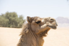 Proud camel Royalty Free Stock Photography
