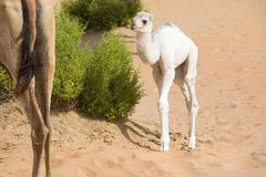 Proud camel mother walking with her baby. Royalty Free Stock Photo
