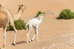 Proud camel mother walking with her baby. Royalty Free Stock Photography