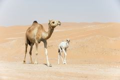 Proud camel mother walking with her baby. Stock Photography