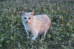 Proud сat. Proud cat hunting in the field for mice Royalty Free Stock Photo