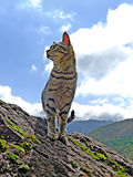 The proud cat. A lone cat stands in the background of a blue sky stock photography