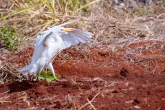 Proud Cattle Egret walking with wings up royalty free stock photos