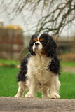 Proud Cavalier King Charles Spaniel Royalty Free Stock Photos