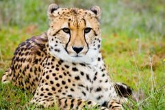 Proud Cheetah. A young male cheetah watches for prey and predators royalty free stock images