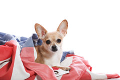Proud chihuahua. Close up of chihuahua in USA flag Royalty Free Stock Images
