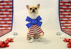 Patriotic Chihuahua. Proud American Chihuahua wearing a bow Royalty Free Stock Images
