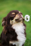 Proud chihuahua dog holding a flower Stock Photography