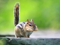 The Proud Chipmunk. Chipmunk proudly carries his quarry Stock Image