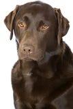 Proud Chocolate Labrador Stock Image