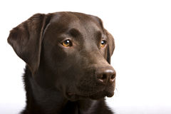 Proud Chocolate Labrador Head Royalty Free Stock Photography